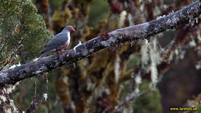 Papuan Mountain-Pigeon
