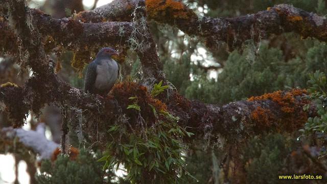 Papuan Mountain-Pigeon