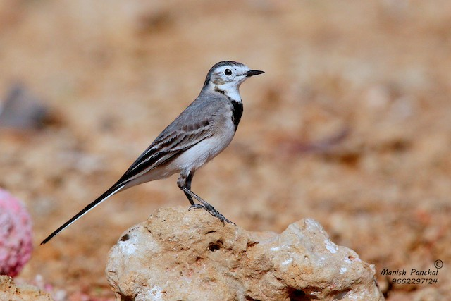 White Wagtail (White-faced)