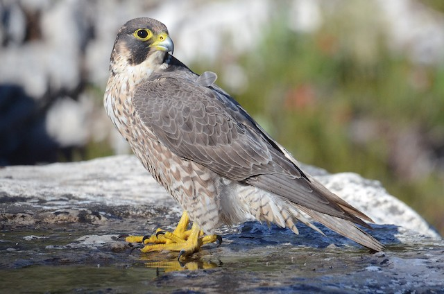 Peregrine Falcon (Mediterranean)
