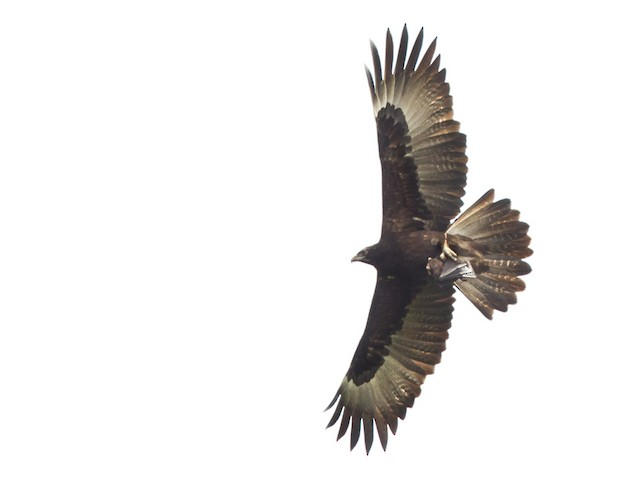 Gurney's Eagle