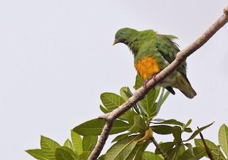 Orange-bellied Fruit-Dove