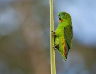 - Papuan Hanging-Parrot