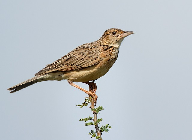 Red-winged Lark (Red-winged)