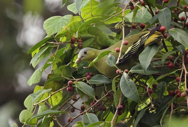 Flores Green-Pigeon