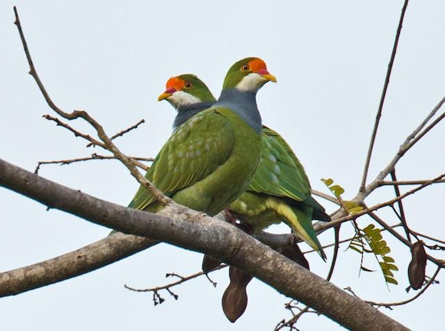 Orange-fronted Fruit-Dove