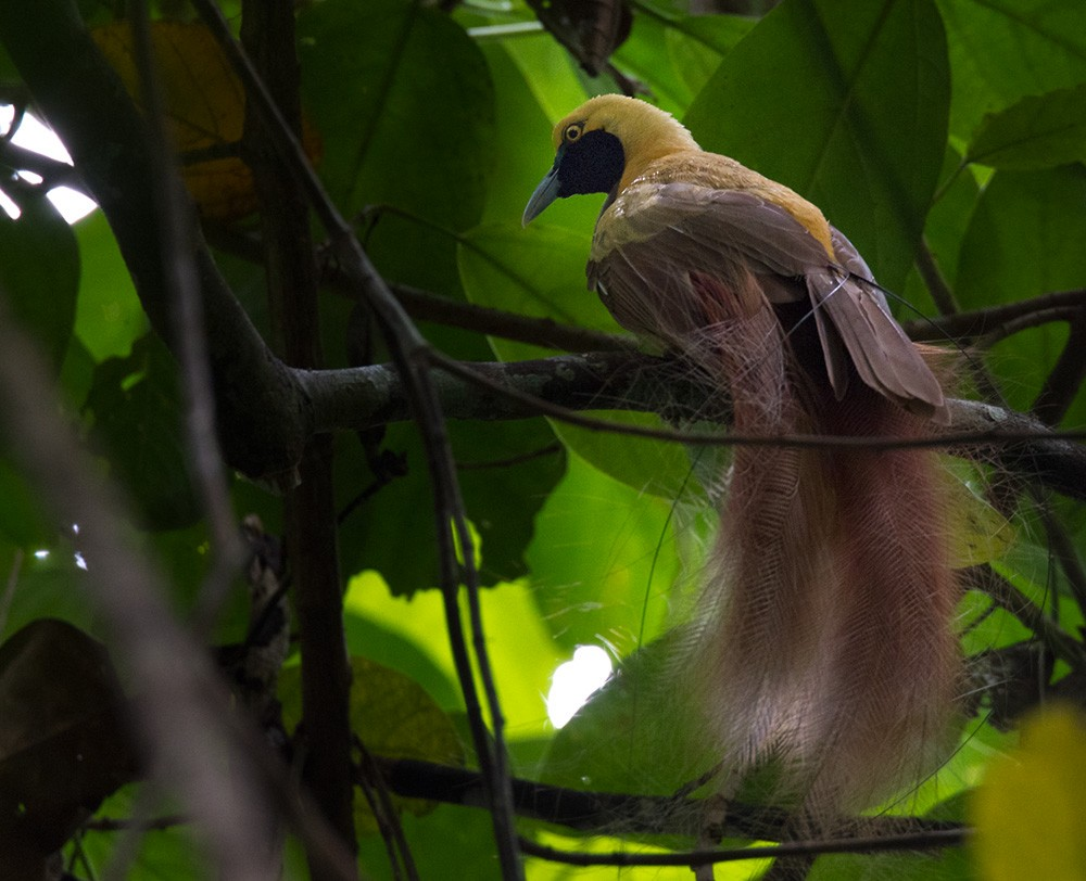 Goldie's Bird-of-Paradise - Lars Petersson