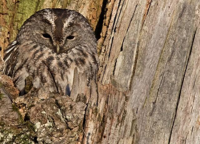 Tawny Owl (Tawny)