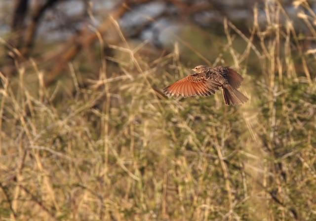 Red-winged Lark
