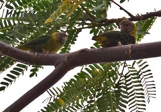- Meek's Pygmy-Parrot