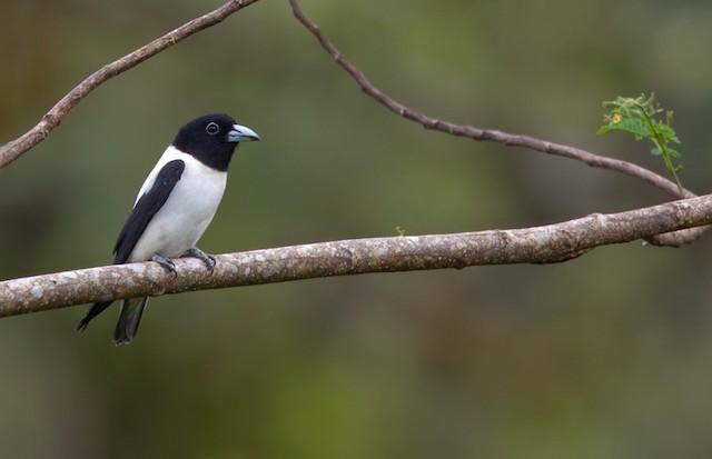 Bismarck Woodswallow