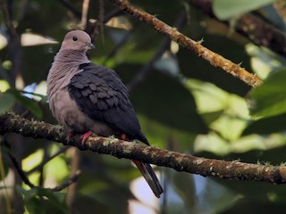 Dark-backed Imperial-Pigeon (Pink-headed)
