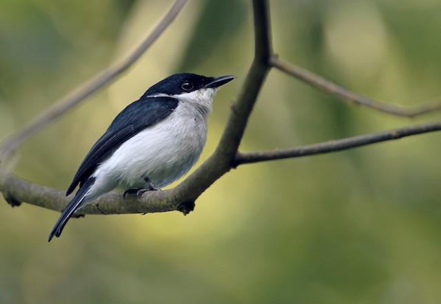 Black-winged Flycatcher-shrike