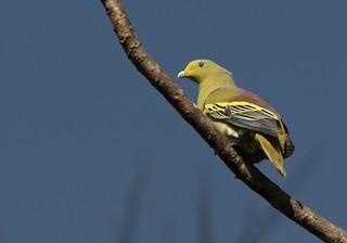 - Sumba Green-Pigeon