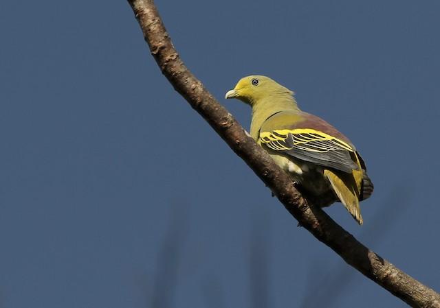 Sumba Green-Pigeon