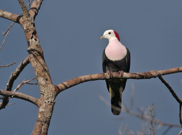Red-naped Fruit-Dove