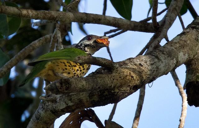 Tan-capped Catbird