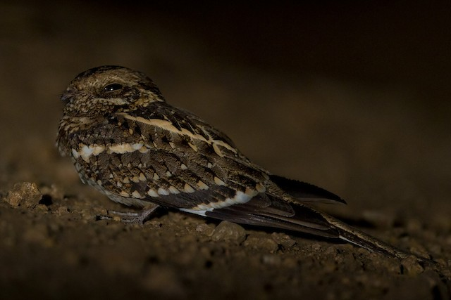 Slender-tailed Nightjar
