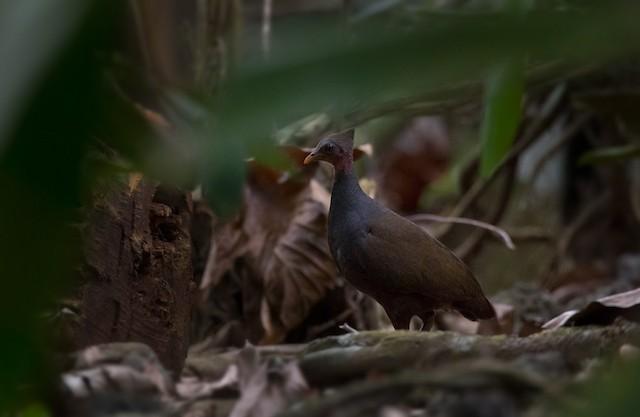 New Guinea Scrubfowl