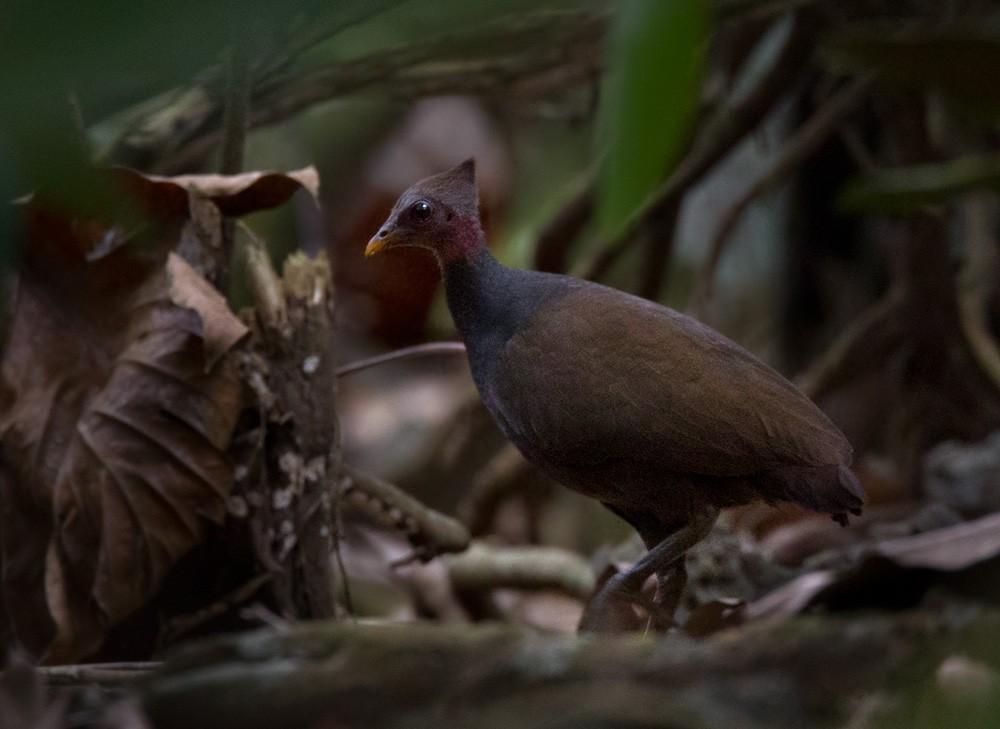 New Guinea Scrubfowl - Lars Petersson