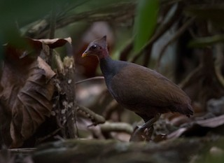 - New Guinea Scrubfowl