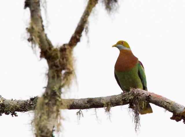 Ornate Fruit-Dove (Eastern)