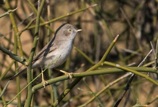 ©Lars Petersson - Asian Desert Warbler