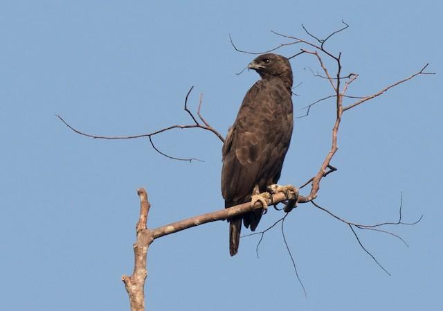 Changeable Hawk-Eagle (Changeable)