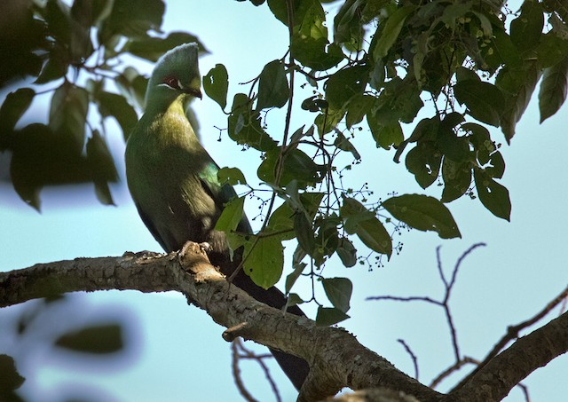 Black-billed Turaco (Green-rumped)