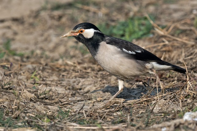Asian Pied Starling (Asian)