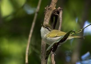 - Uganda Woodland-Warbler