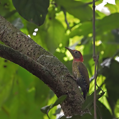 Red-collared Woodpecker - Lars Petersson