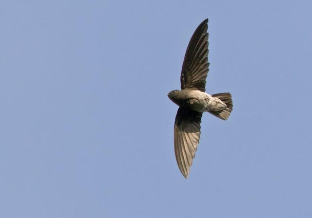 Sao Tome Spinetail