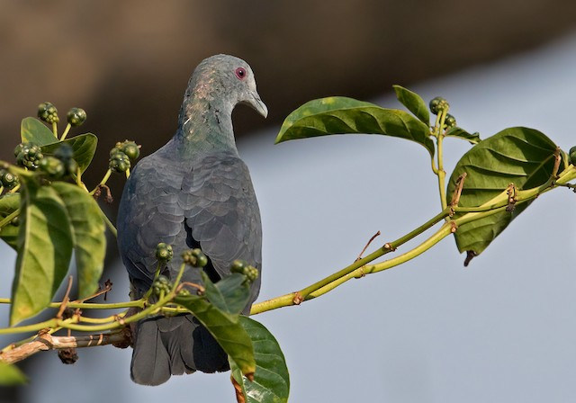 Sao Tome Pigeon