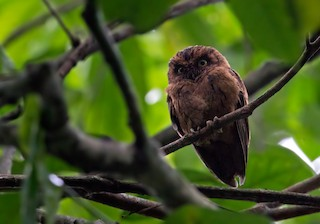 - Sao Tome Scops-Owl