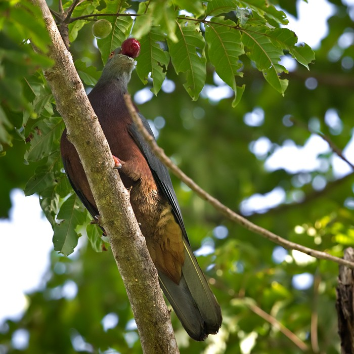 Baker's Imperial-Pigeon - Lars Petersson