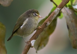 - Sao Tome White-eye