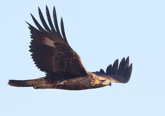 Juvenile Golden Eagle (Western Sahara).