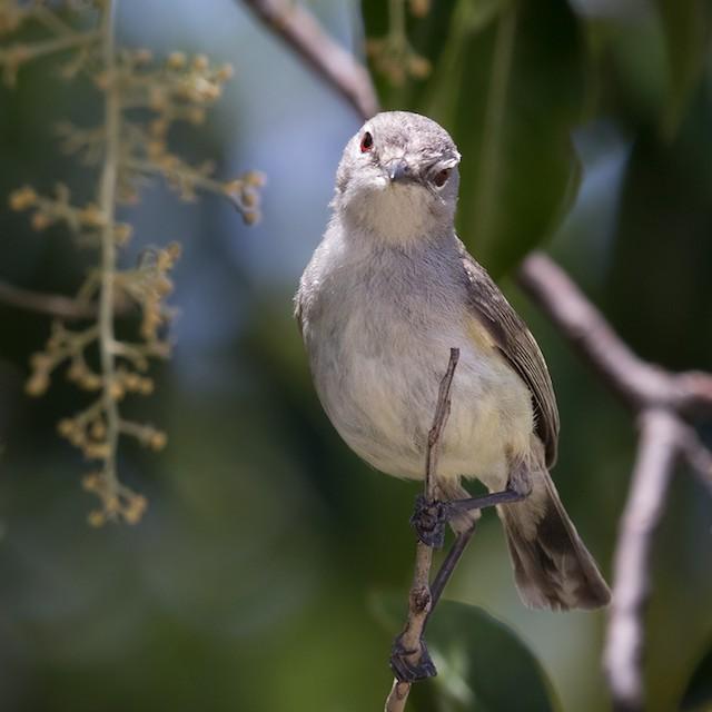 Fan-tailed Gerygone (Fan-tailed)