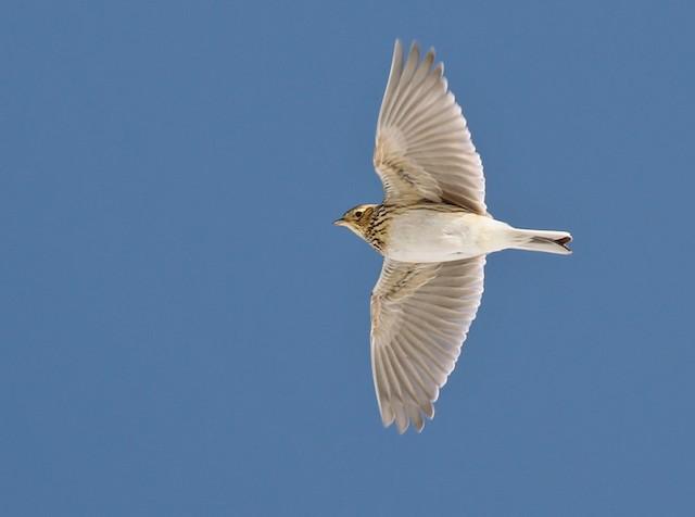 Eurasian Skylark (European)