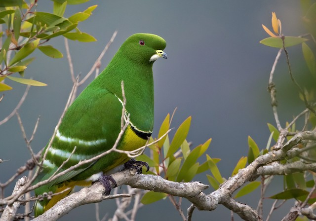 Cloven-feathered Dove