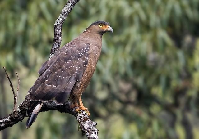 Crested Serpent-Eagle (Crested)