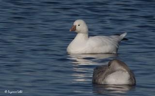 Ross's Goose, ML20602321