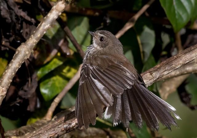 Streaked Fantail (Fiji)