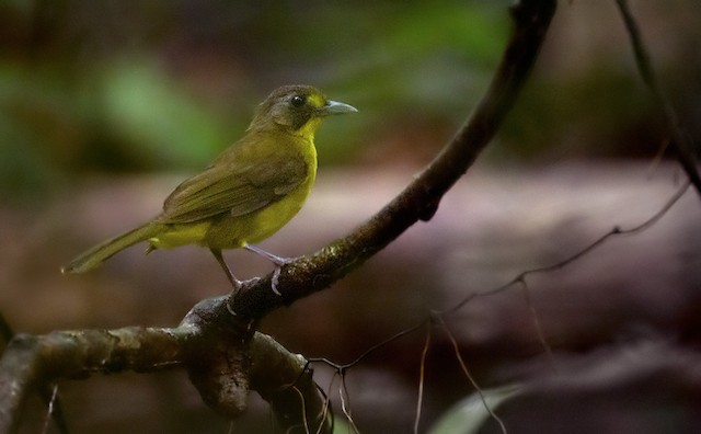 Lesser Bristlebill (Brown-eyed)