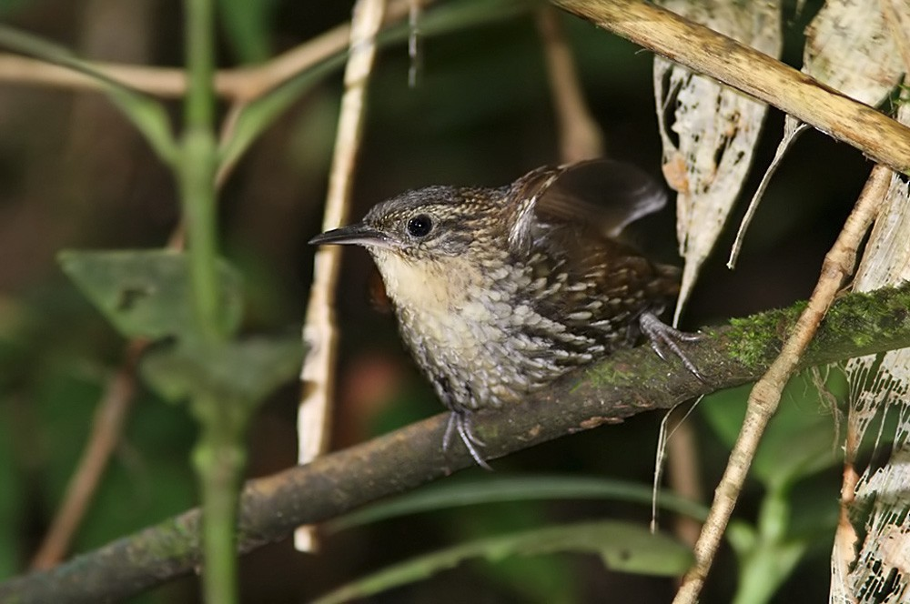 White-throated Barbtail (Paria) - Lars Petersson