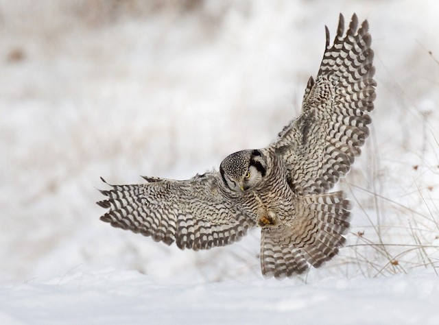 Northern Hawk Owl (Eurasian)