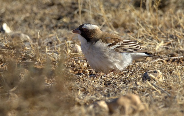 White-browed Sparrow-Weaver (White-breasted)