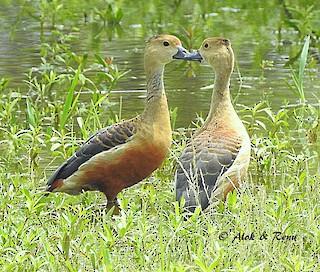 Lesser Whistling-Duck, ML206045841