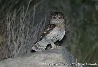 - Omani Owl